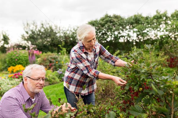 Pareja de ancianos cosecha grosella verano jardín Foto stock © dolgachov