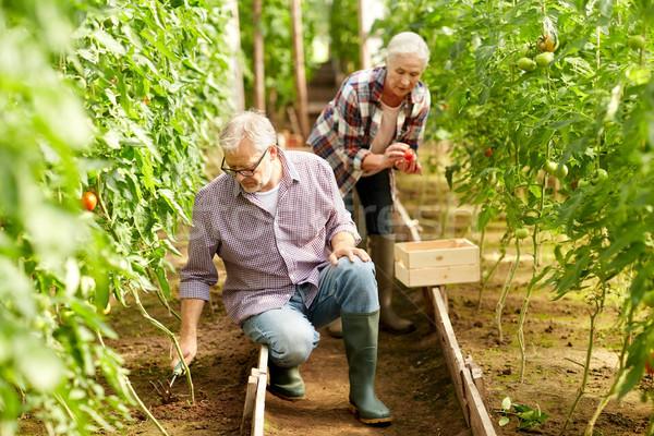 senior couple working at farm greenhouse Stock photo © dolgachov