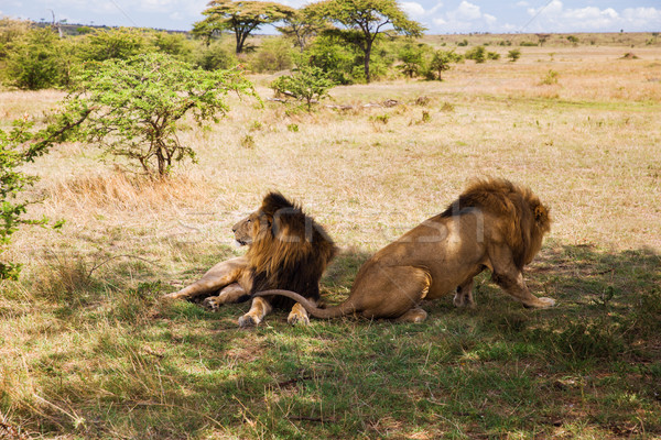 male lions resting in savannah at africa Stock photo © dolgachov