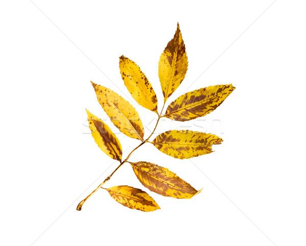 Kuru kül ağaç yaprak doğa sezon Stok fotoğraf © dolgachov