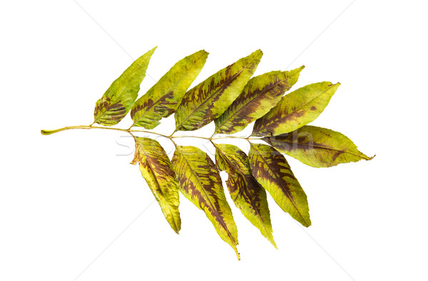dry fallen ash tree leaf Stock photo © dolgachov