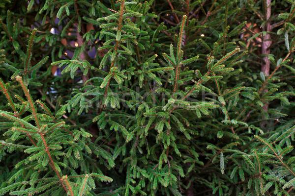 Naturelles sapin arbres Noël marché Photo stock © dolgachov