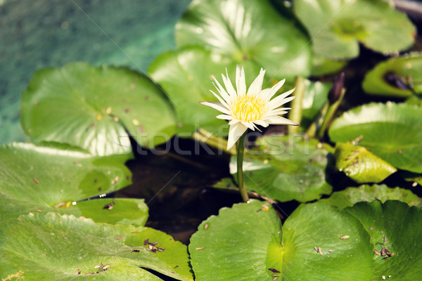 white water lily in pond Stock photo © dolgachov