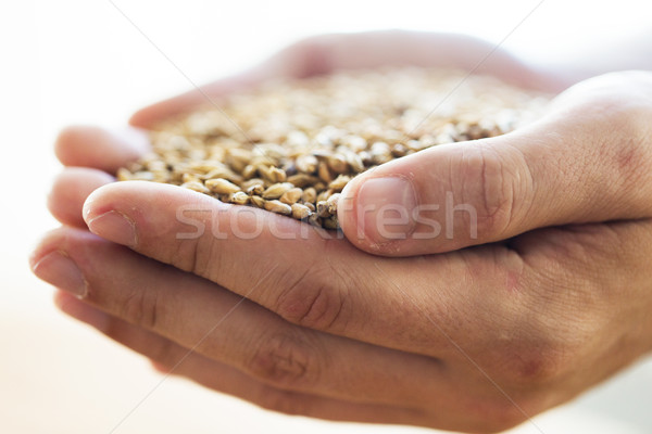 male farmers hands holding malt or cereal grains Stock photo © dolgachov