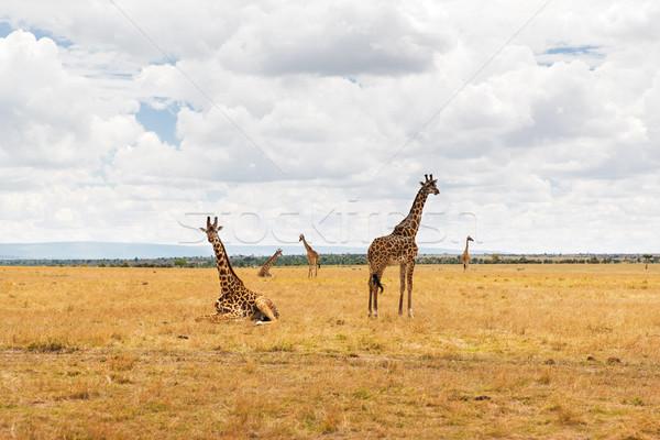 группа Жирафы саванна Африка животного природы Сток-фото © dolgachov