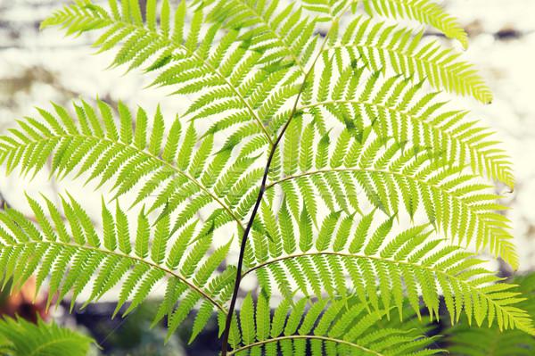 緑 シダ 植物学 自然 生物 フローラ ストックフォト © dolgachov
