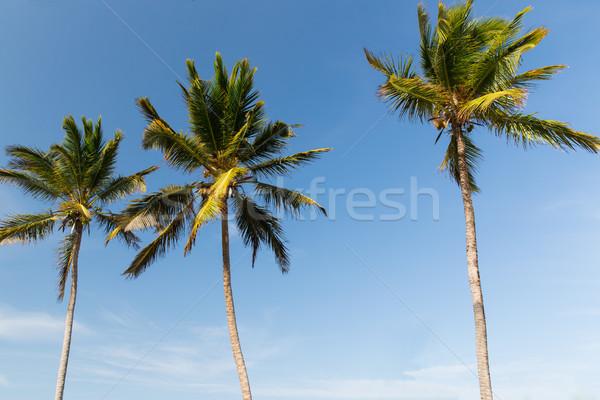 palm trees and blue sky Stock photo © dolgachov