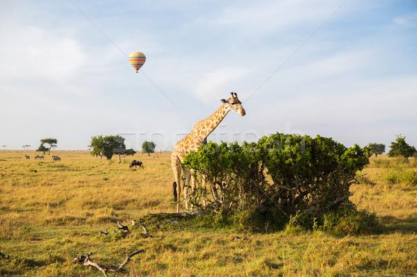 giraffe eating tree leaves in savannah at africa Stock photo © dolgachov