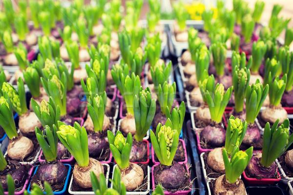 Zaailingen broeikas tuinieren flora Stockfoto © dolgachov