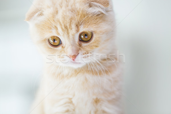 close up of scottish fold kitten Stock photo © dolgachov