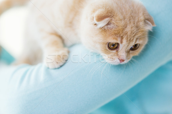 close up of scottish fold kitten in owner hands Stock photo © dolgachov