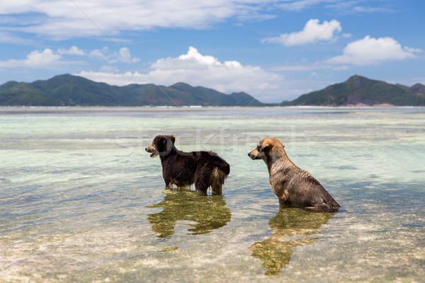 dogs in sea or indian ocean water on seychelles Stock photo © dolgachov