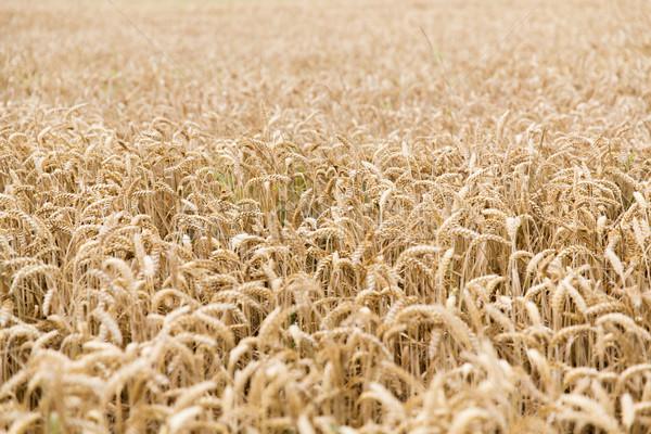 フィールド 小麦 耳 ライ麦 農業 ストックフォト © dolgachov