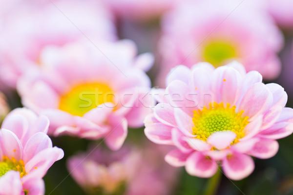 close up of beautiful pink chrysanthemum flowers Stock photo © dolgachov