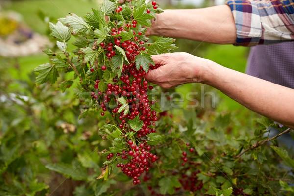 Altos mujer rojo grosella verano jardín Foto stock © dolgachov