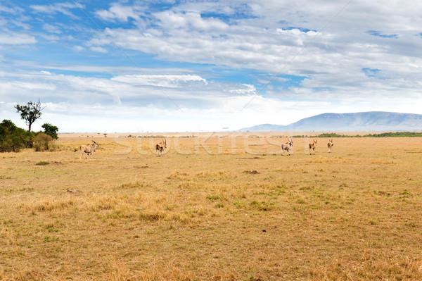 eland antelopes grazing in savannah at africa Stock photo © dolgachov