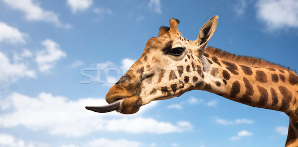 giraffe showing tongue Stock photo © dolgachov