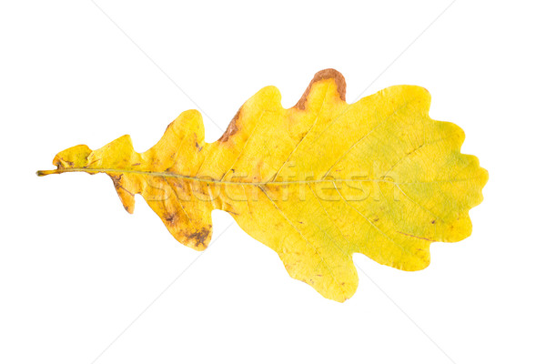 Secar amarillo roble otono hoja naturaleza Foto stock © dolgachov