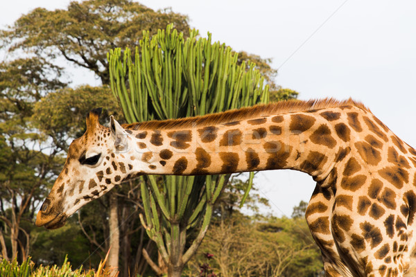 giraffe at national reserve in africa Stock photo © dolgachov