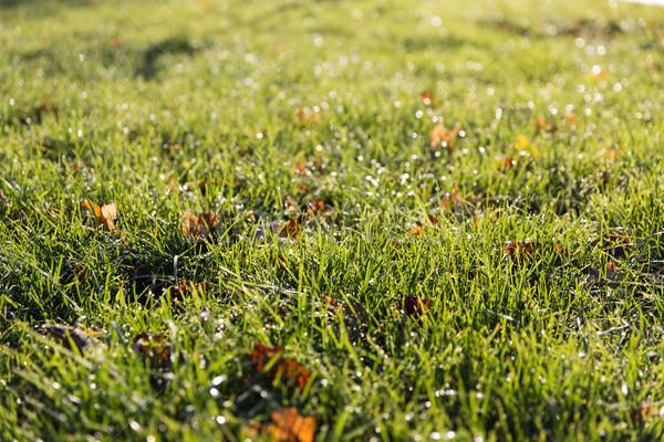 Közelkép zöld fű harmat természet évszak környezet Stock fotó © dolgachov