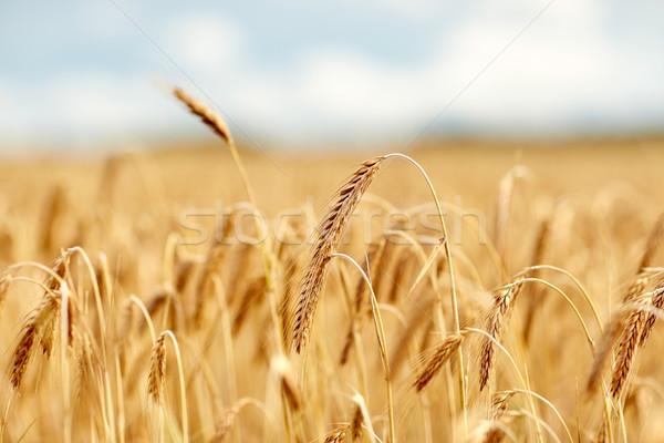 Granen veld rijp rogge tarwe natuur Stockfoto © dolgachov