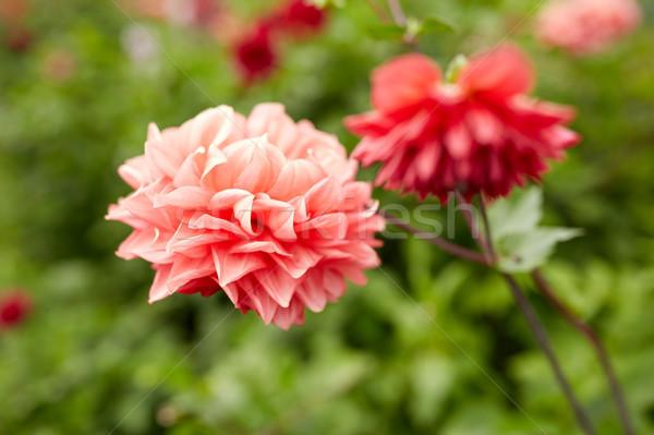 beautiful dahlia flowers at summer garden Stock photo © dolgachov