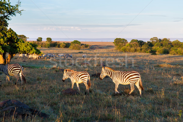 Foto stock: Rebanho · zebras · savana · África · animal · natureza