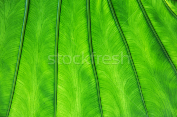 green palm tree leaf texture Stock photo © dolgachov