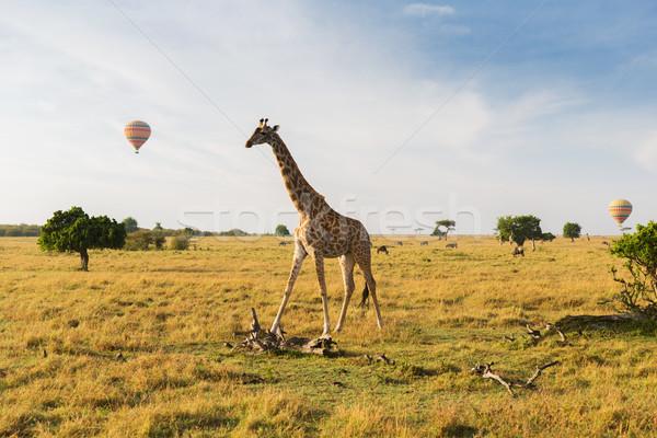 giraffe and air balloons in savannah at africa Stock photo © dolgachov