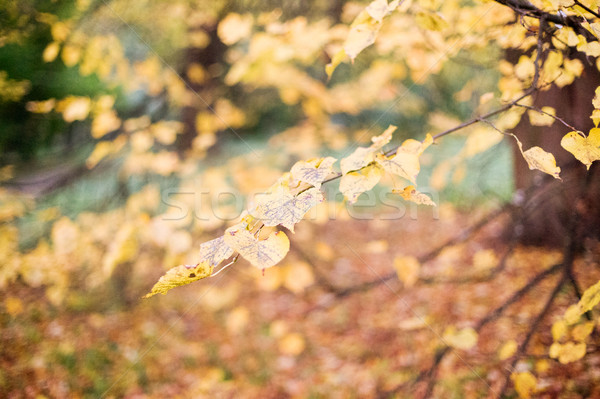 autumn tree branch in forest Stock photo © dolgachov