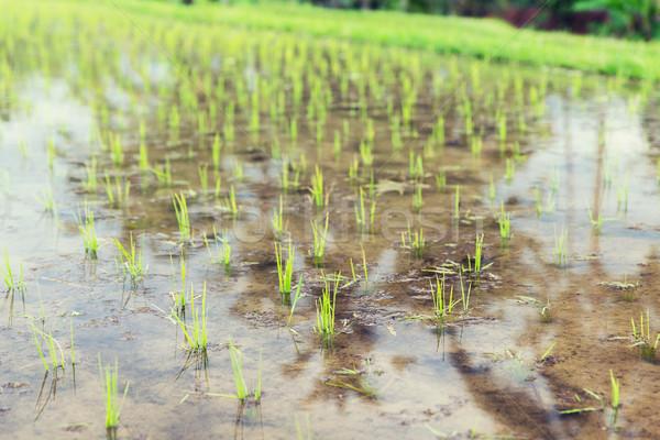 Tarla Asya tarım Stok fotoğraf © dolgachov