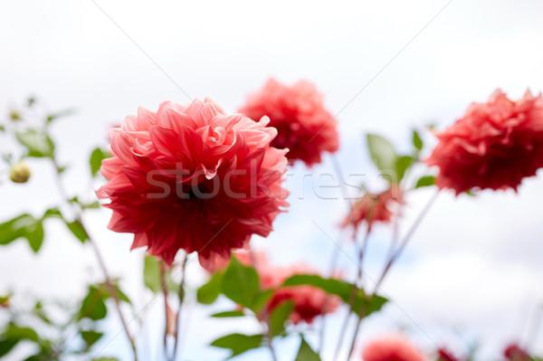 Güzel dalya çiçekler yaz bahçe bahçıvanlık Stok fotoğraf © dolgachov