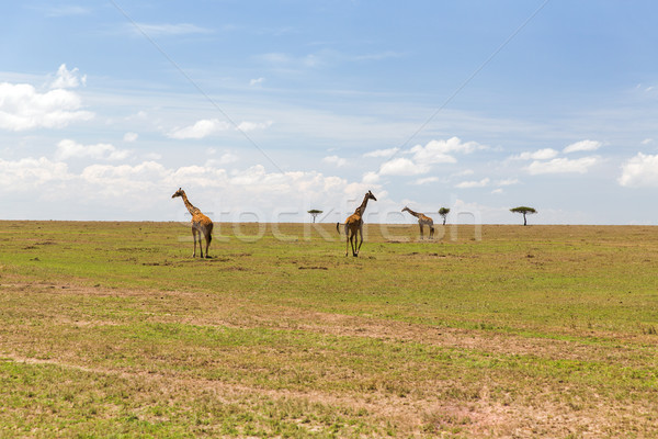 giraffes in savannah at africa Stock photo © dolgachov