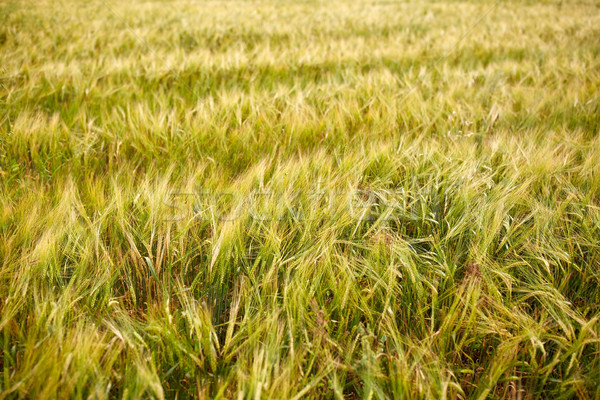 Stock photo: cereal field with spikelets of ripe rye or wheat