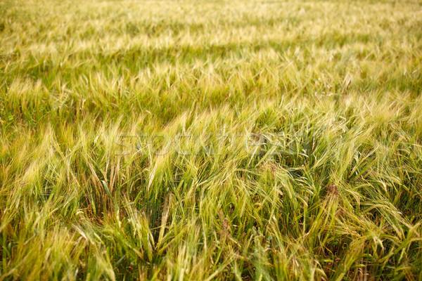 Gabonapehely mező érett rozs búza természet Stock fotó © dolgachov