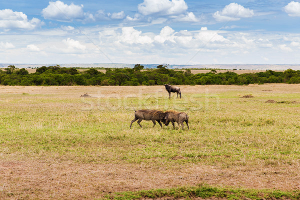 Stock photo: warthogs fighting in savannah at africa