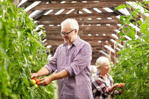 Casal velho tomates para cima fazenda estufa Foto stock © dolgachov