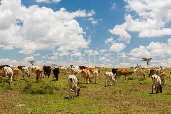 Vacas savana África animal natureza animais selvagens Foto stock © dolgachov
