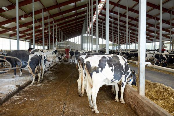 Stado krów jedzenie siano mleczarnia gospodarstwa Zdjęcia stock © dolgachov