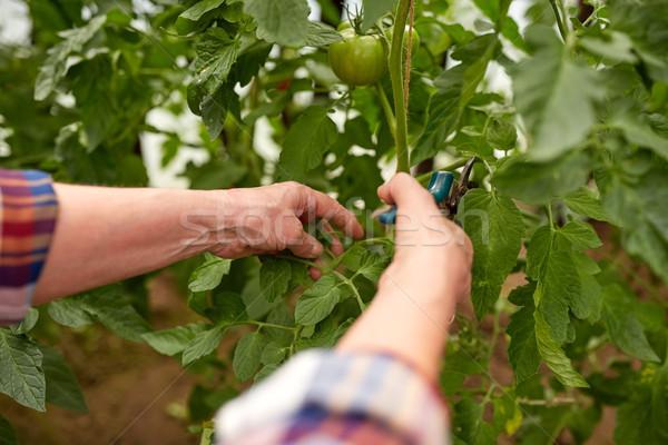 Altos agricultor granja invernadero jardinería Foto stock © dolgachov