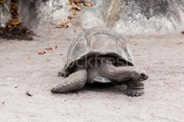 óriás teknősbéka kint Seychelle-szigetek állatok állatvilág Stock fotó © dolgachov
