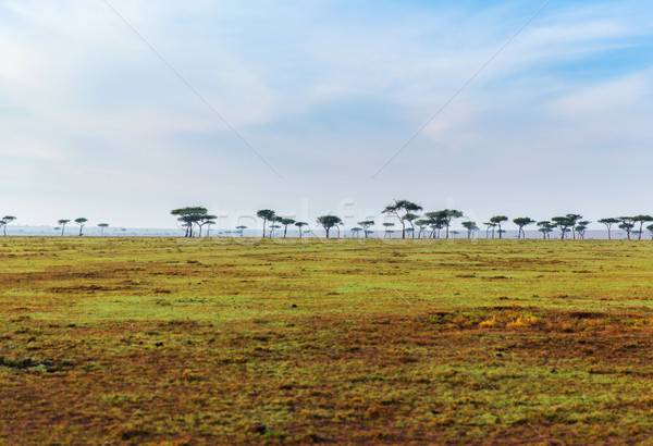 acacia trees in savannah at africa Stock photo © dolgachov