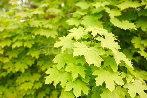 Stock photo: close up of maple tree
