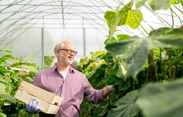 Idős férfi szőlőszüret uborkák felfelé farm üvegház Stock fotó © dolgachov