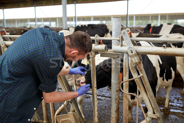 man or farmer with cows in cowshed on dairy farm Stock photo © dolgachov