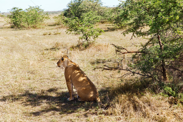 Vadászat szavanna Afrika állat természet vadvilág Stock fotó © dolgachov