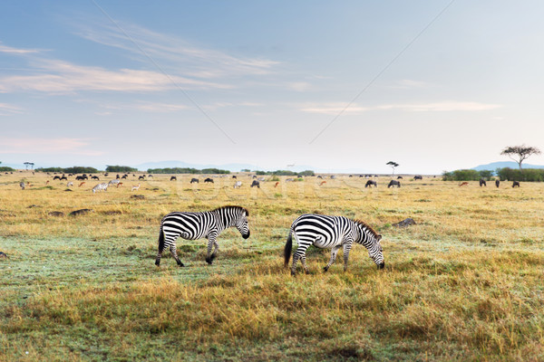 zebras and other animals in savannah at africa Stock photo © dolgachov