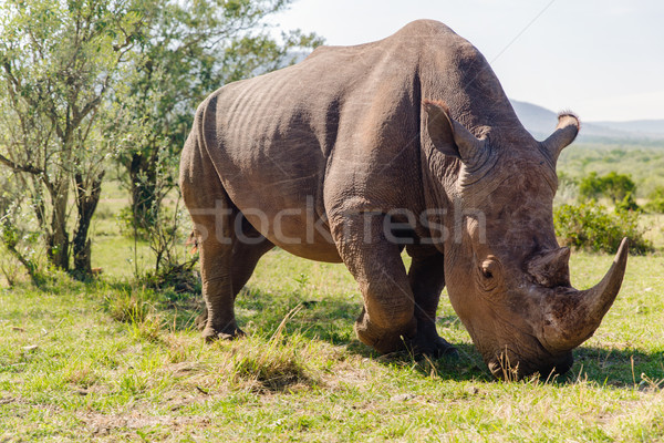 rhino grazing in savannah at africa Stock photo © dolgachov