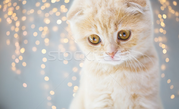 close up of scottish fold kitten Stock photo © dolgachov