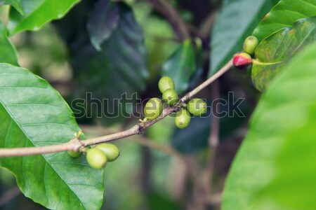 close up of green unripe coffee fruits on branch Stock photo © dolgachov